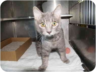 Domestic Shorthair Kitten for adoption in El Cajon, California - Milo