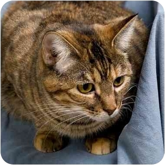 Domestic Shorthair Cat for adoption in Anna, Illinois - PEARL