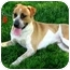 Photo 4 - St. Bernard/Hound (Unknown Type) Mix Dog for adoption in West Richland, Washington - Ranger