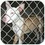Photo 4 - Ibizan Hound Mix Dog for adoption in Metamora, Indiana - Handsome