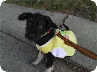 Schnauzer (Standard)/Labrador Retriever Mix Puppy for adoption in Plainfield, Illinois - Kahlua