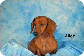 Dachshund Dog for adoption in Ft. Myers, Florida - Allee