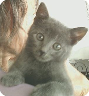 Russian Blue Kitten for adoption in Whitestone, New York - Twilight 2