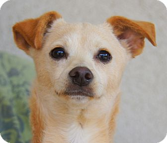 Terrier (Unknown Type, Medium) Mix Puppy for adoption in Thousand Oaks, California - Gabe