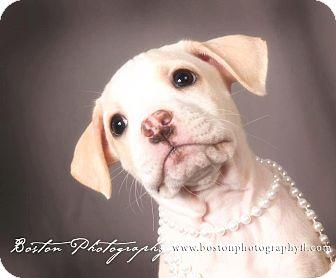 American Bulldog/Bullmastiff Mix Puppy for adoption in Callahan, Florida - Missy