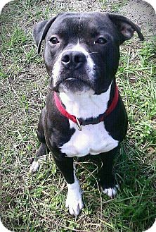 Boxer/Pit Bull Terrier Mix Dog for adoption in Palm Bay, Florida - Winston