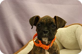 Boxer Mix Puppy for adoption in Broomfield, Colorado - Venus