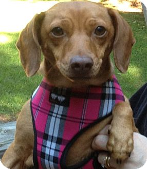Dachshund Mix Dog for adoption in Franklinville, New Jersey - Princess