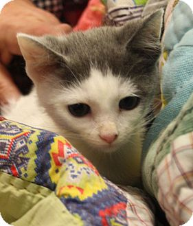 Domestic Shorthair Kitten for adoption in Chattanooga, Tennessee - Angel