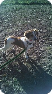 Chihuahua Mix Dog for adoption in Waldorf, Maryland - Star