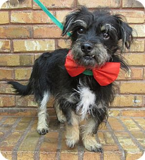 Terrier (Unknown Type, Small)/Schnauzer (Miniature) Mix Dog for adoption in Benbrook, Texas - Freddie