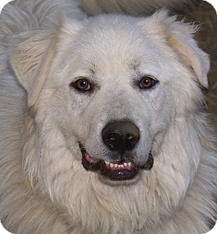 Great Pyrenees Mix Dog for adoption in Hagerstown, Maryland - Nick