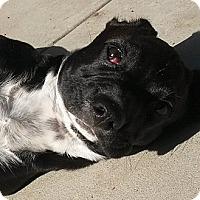 Adopt A Pet :: Sugar - Santa Barbara, CA