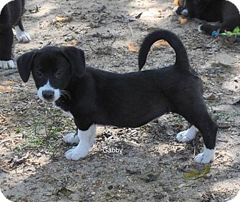 Collie Mix Puppy for adoption in East Hartford, Connecticut - Gabby 1-pending adoption