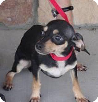 Chihuahua/Dachshund Mix Dog for adoption in Englewood, Colorado - SunShine