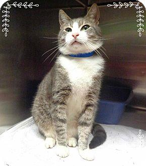 Domestic Shorthair Cat for adoption in Marietta, Georgia - PAPI