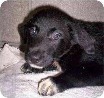 Australian Shepherd Mix Puppy for adoption in Cairo, New York - Claire