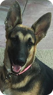 German Shepherd Dog Mix Puppy for adoption in Thousand Oaks, California - Ginger
