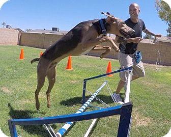 Hound (Unknown Type)/Weimaraner Mix Dog for adoption in Scottsdale, Arizona - Tonto