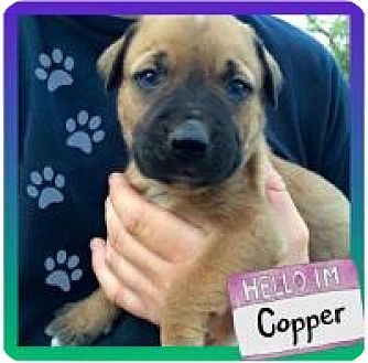 American Bulldog Mix Puppy for adoption in Marlton, New Jersey - Copper