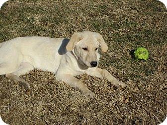 Labrador Retriever Dog for adoption in Sparta, Illinois - Sugar