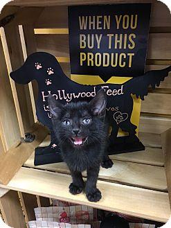 Domestic Shorthair Kitten for adoption in Huntsville, Alabama - Jersey