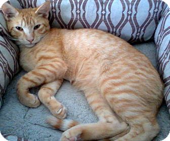 American Shorthair Cat for adoption in Ft Myers Beach, Florida - Love from me to you!!