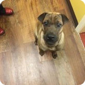 Shar Pei Dog for adoption in Gainesville, Florida - Bambi