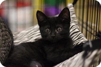 Domestic Shorthair Kitten for adoption in Sacramento, California - Claire