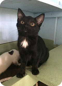 Domestic Shorthair Kitten for adoption in Savannah, Georgia - Donna