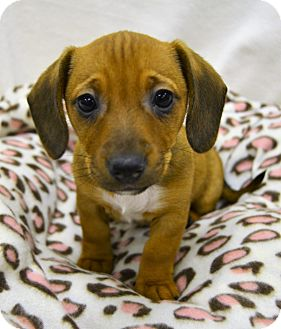 Jack Russell Terrier/Dachshund Mix Puppy for adoption in Michigan City, Indiana - Julie
