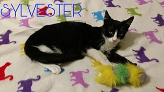 Domestic Shorthair Cat for adoption in Lawton, Oklahoma - SYLVESTER