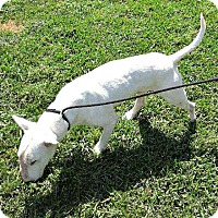 Adopt A Pet :: Spartacus - Houston, TX