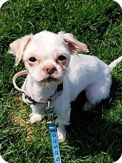 Shih Tzu Mix Dog for adoption in Plainfield, Illinois - Courtney