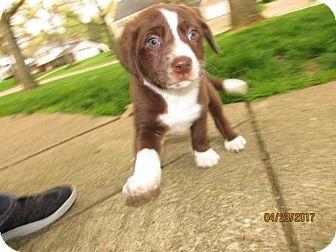 Labrador Retriever/Border Collie Mix Dog for adoption in Akron, Ohio - Sesame Street - Hoots