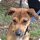 Adopt A Pet :: Pup Cocoa