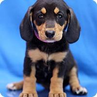 Adopt A Pet :: Luxi - Waldorf, MD