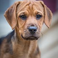 Adopt A Pet :: Levi - Bristol, TN