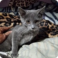 Adopt A Pet :: Cinnabun - Hampton, VA