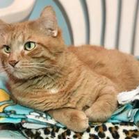 Adopt A Pet :: Macklemore - Boonville, MO