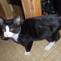 Domestic Shorthair Kitten for adoption in Medford, Wisconsin - MERRICK