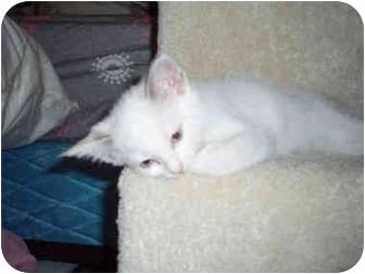Ragdoll Kitten for adoption in Davis, California - Clarabelle