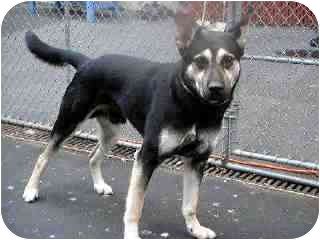 German Shepherd Dog/Labrador Retriever Mix Dog for adoption in Brooklyn, New York - Jimmy