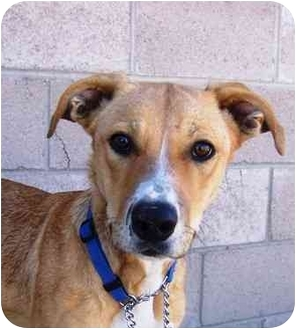 Jack Russell Terrier Mix Dog for adoption in YERINGTON, Nevada - Missy