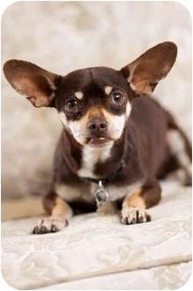 Chihuahua Dog for adoption in Portland, Oregon - McGruff