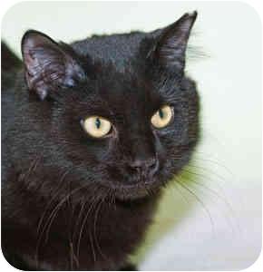 Domestic Mediumhair Cat for adoption in Warren, Pennsylvania - Chip