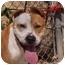 Photo 1 - Pit Bull Terrier Mix Dog for adoption in El Cajon, California - Bongo