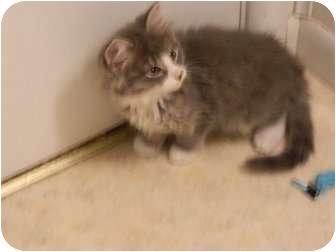 Domestic Mediumhair Kitten for adoption in Queensbury, New York - Phoenix