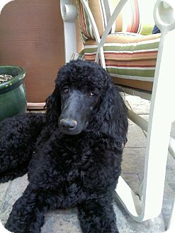 Poodle (Standard) Dog for adoption in spring valley, California - ADOPTED