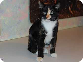 Domestic Shorthair Kitten for adoption in North Judson, Indiana - Patches
